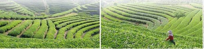 Kudzu farm in China