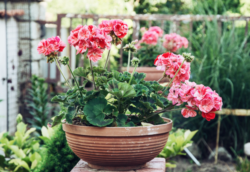 How To Keep Your Potted Plants In Shape All Summer Here