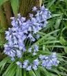 220px-Wild_Hyacinthus