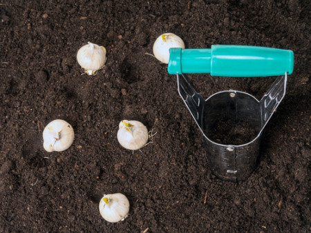 Bulbs and bulb dibber