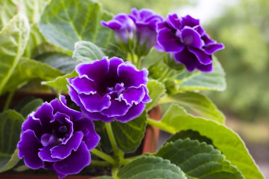 flowering houseplants add life to interiors - Flowering House Plants Purple