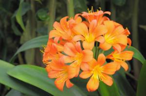 kaaffir lily