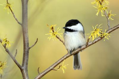 bird in wi hazel