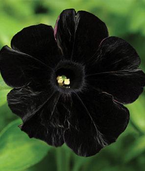 petunia-black-cat