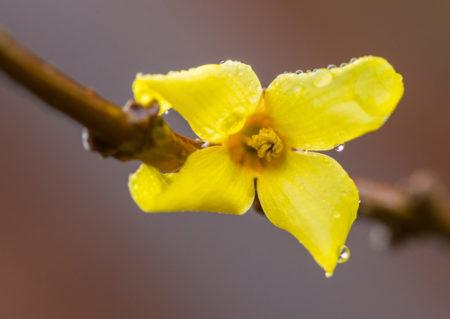 Close-up of a forsythia flower