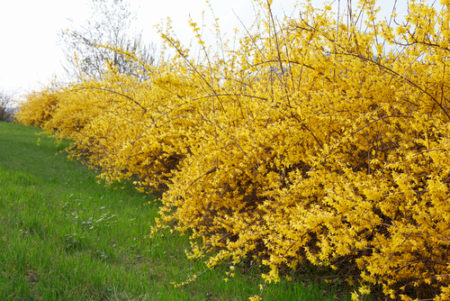 for the love of forsythia five great new varieties  here by design, Beautiful flower