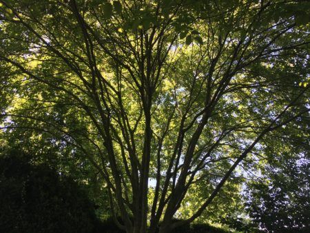 Yellowwood tree/Photo: Here By Design